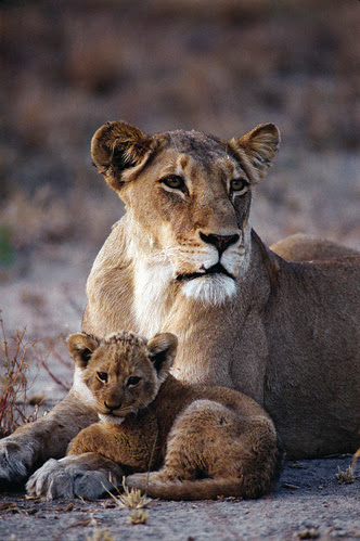 Lion by safari-partners