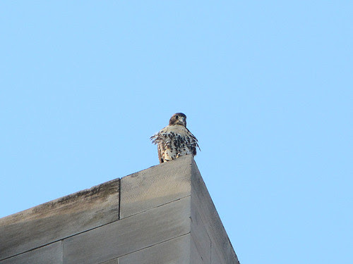 Hawk Fledge on West Front Tower