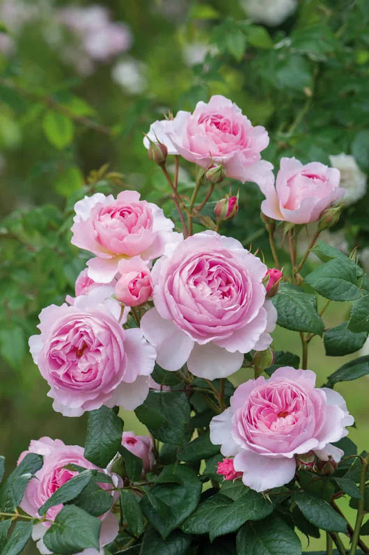 New David Austin English Roses for 2017: Ready for Their Close-ups in Dual Garden Roles - Home Garden Joy
