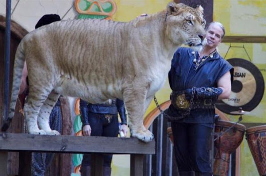 Liger Breeding is Legal in United States