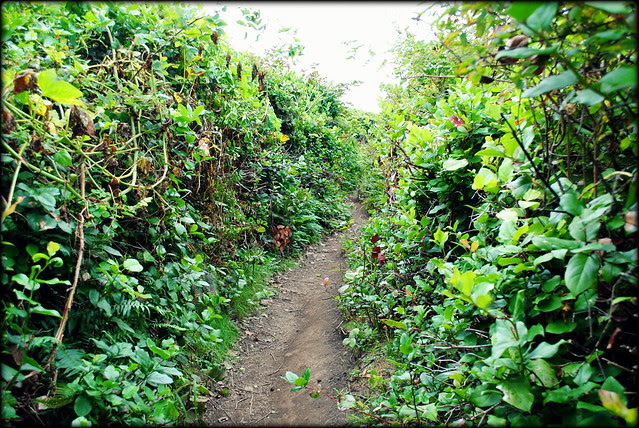 trail carved out of the hedges - Cape Falcon - Oswald West State Park