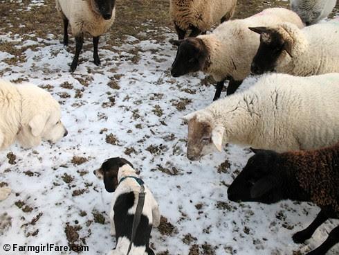 Meet the Sheep Day 2