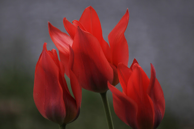 3 red tulips