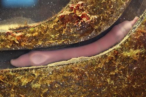 fat innkeeper worm (urechis caupo)