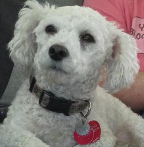 January 5: My Little White Dog