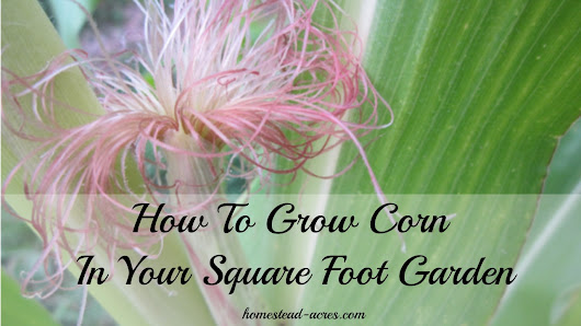 How To Grow Corn In A Square Foot Garden - Homestead Acres