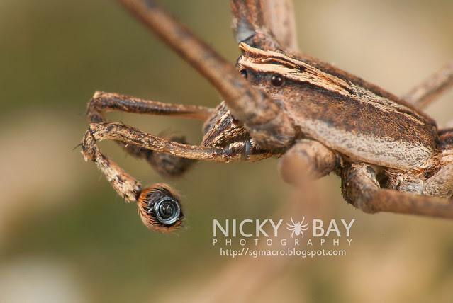 Net-Casting Spider (Deinopidae) - DSC_6135