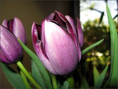 May Day Tulips