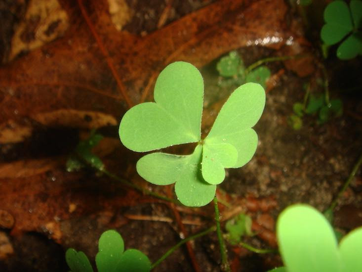 What The Four Leaf Clover Tells Us About Genetics And Luck