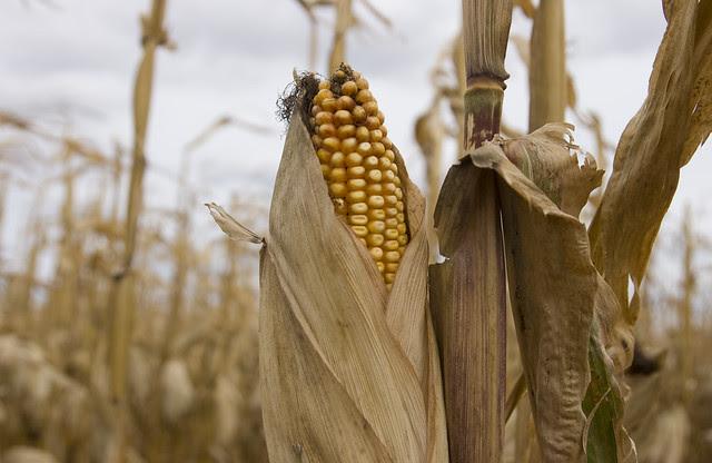 corn-detail-2