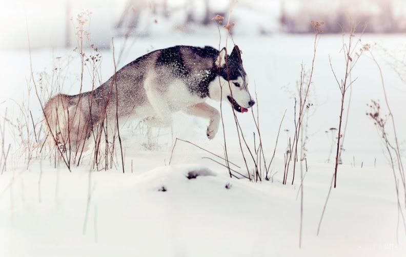 Сибирский хаски бежит по снегу. Фото