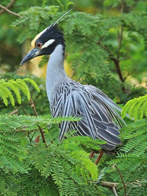Yellow-crowned Night-Heron 2-20140226