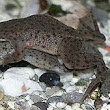 How to Breed Dwarf African Clawed Frogs