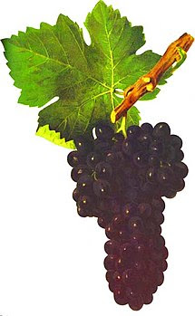 Syrah in Viala & Vermorel