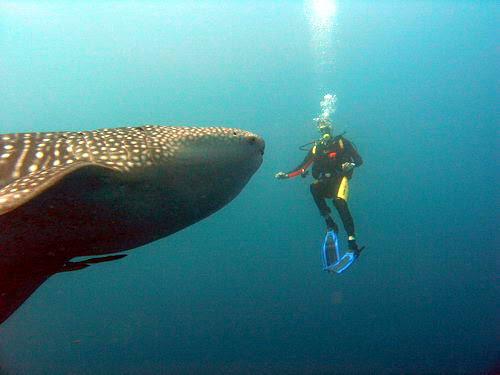whale shark savedra moalboal