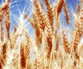Wheat_photo_05.jpg