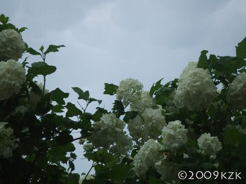 Snowball Viburnum, mammatus clouds