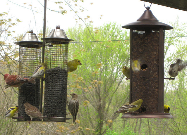 frenzy of finches II