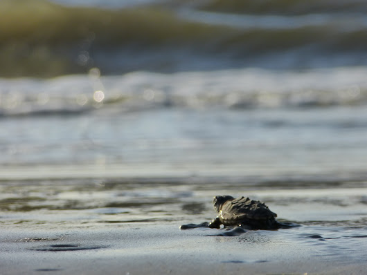 Sea turtles deliver record nesting seasons in Southeast U.S.