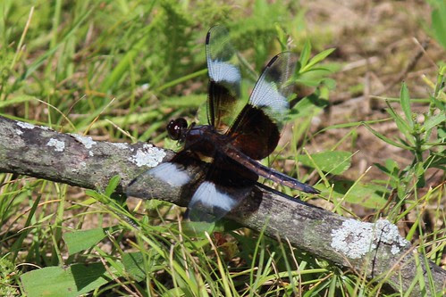 IMG_0461_Widow_Skimmer_Dragonfly