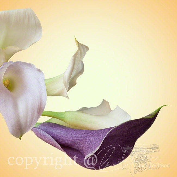 "Flower Photo, calla lily photo, purple white yellow, 5x5"" print"