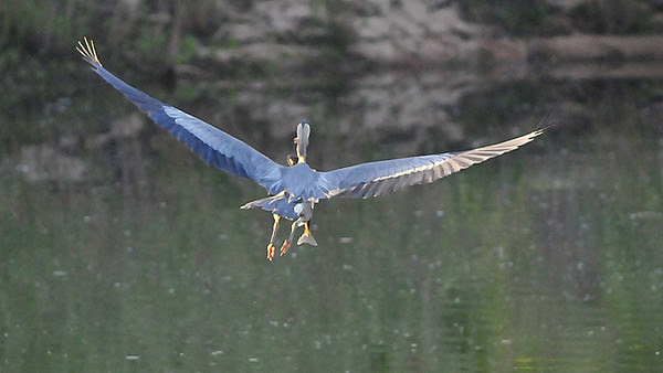 lucky shot (great blue heron with breakfast)
