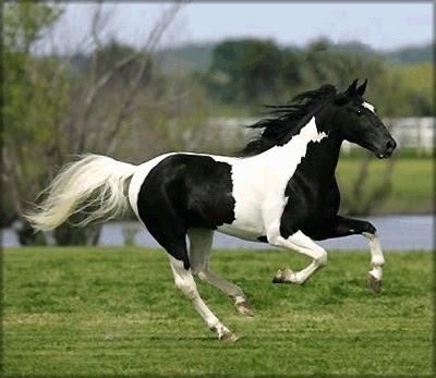 Running | Black& White paint Horses | Pinterest