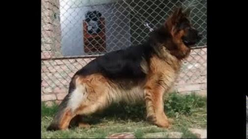 I have seen a real dog fight 1.doberman 2.german sheperd 3 ...