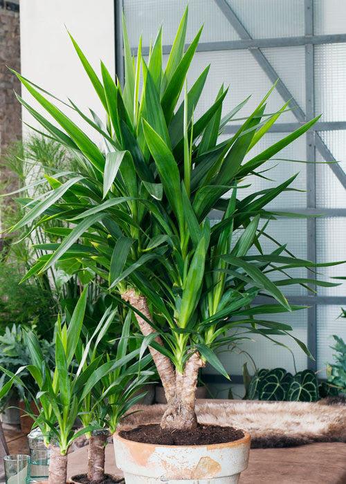 Verzorging Yucca Plantsome