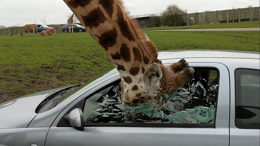 Car window smashes as giraffe sticks its head in safari park visitor's vehicle