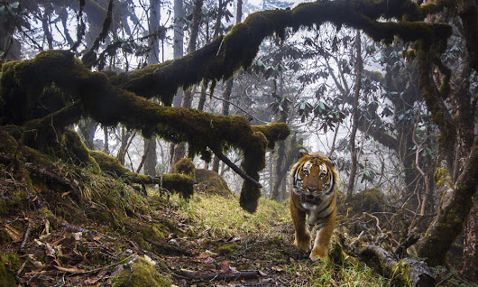 Amazing image of wild tiger in Bhutan