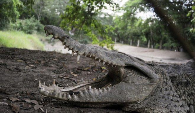 Κροκόδειλος - Φωτό αρχείου