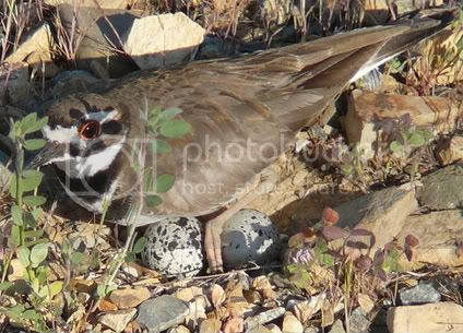 Kildeer photo