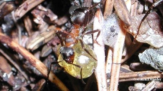 Wood Ants Make Defensive Cocktails Against Microbes - GotScience.org