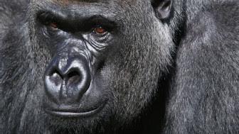 Gorila. Crédito: AP