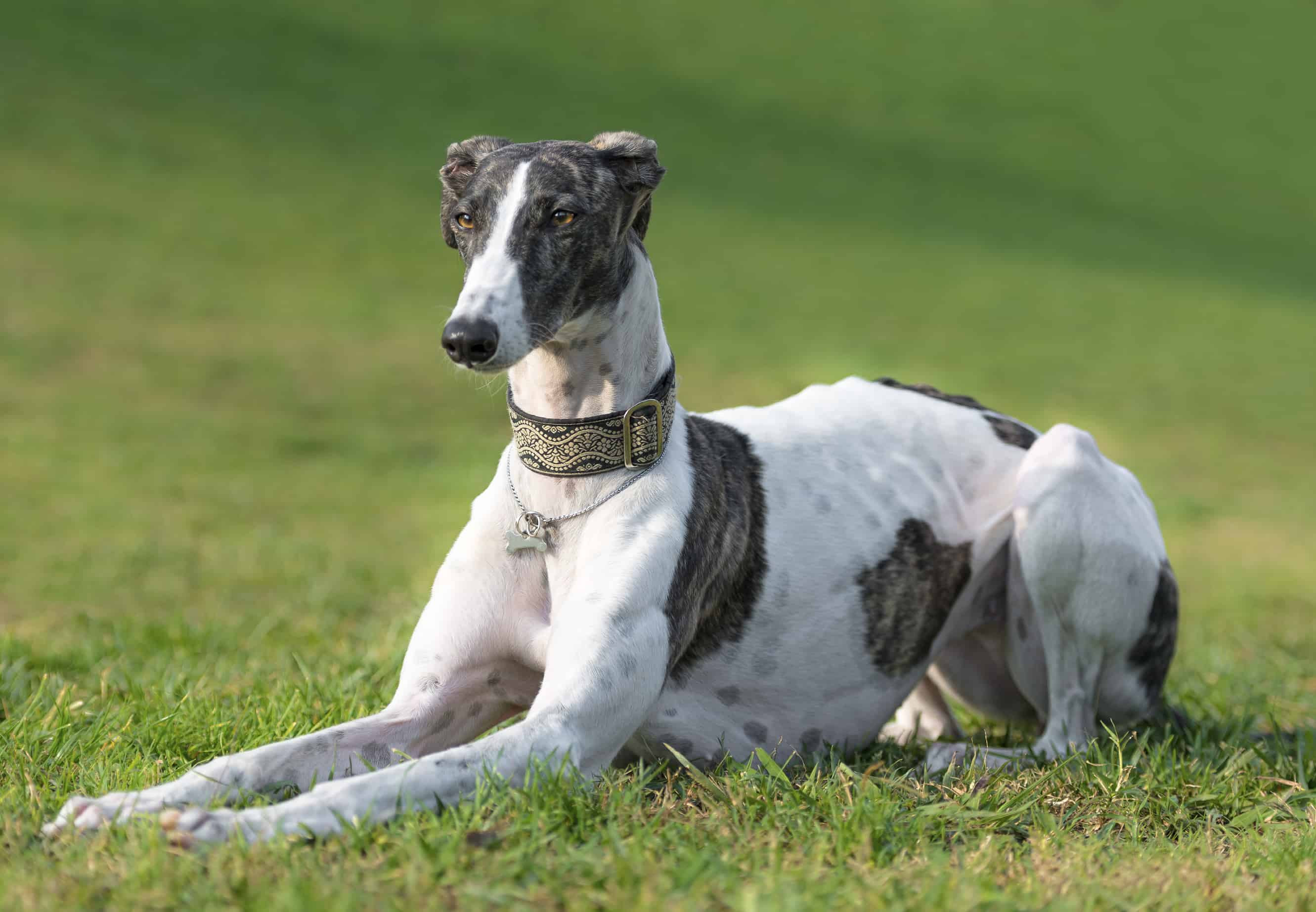 About the Breed: Greyhound  Dog Training, Police K9, Dog Trainer School