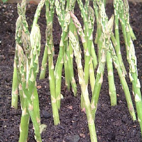 local-records-office-asparagus