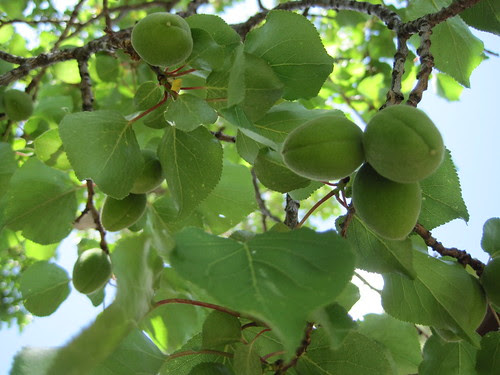A good apricot year