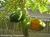 Papaya Trees 2