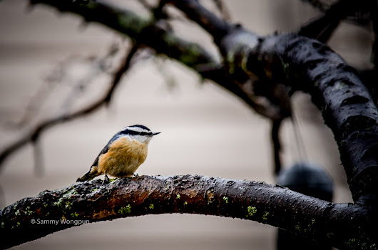 Red-breasted Nuthatches by sammywongpun on YouPic