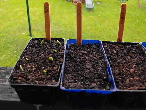 Week 1 - Noah (Peas Basil Capsicum)