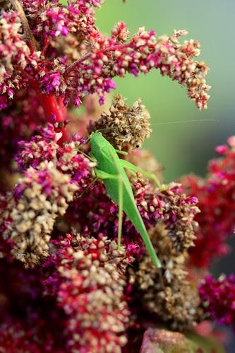 amaranth and grasshopper