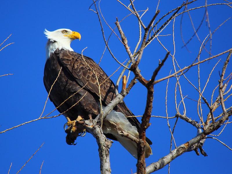 IMG_6180 Bald Eagle