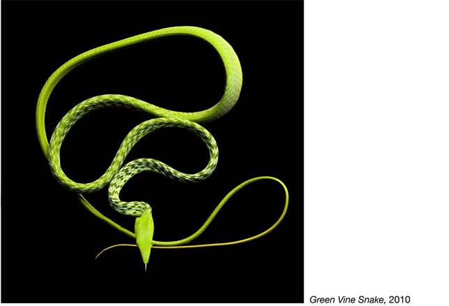 Mark Laita фотографии змей 13 (643x438, 28Kb)
