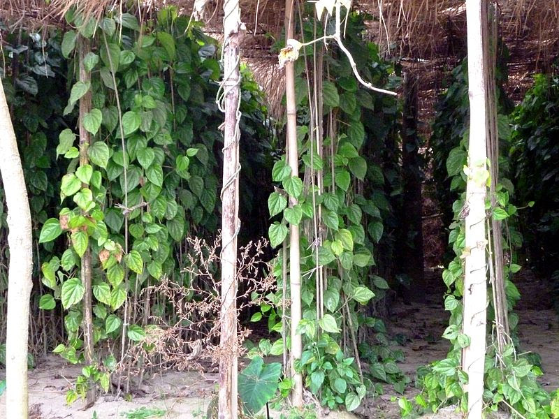 File:Betel Plant.JPG
