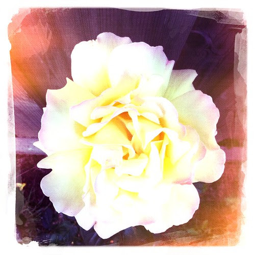 rose :: rose