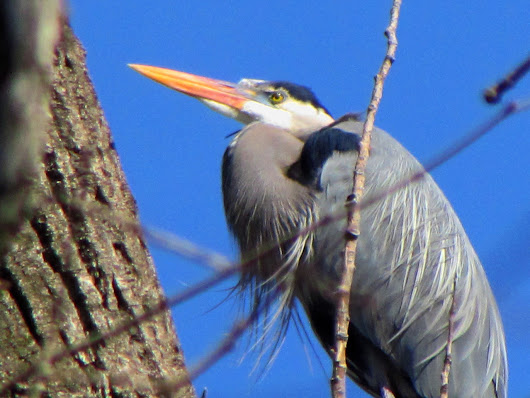 Site to Sight — Gender Differences Complicate Herons' Nesting...