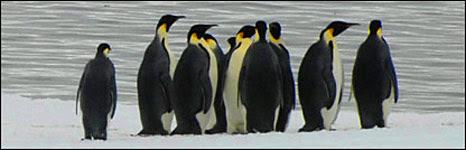Emperor penguins. Image: BBC