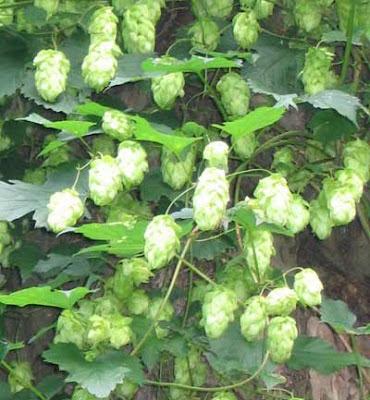 Хмель обыкновенный, лекарственные растения, фото, шишки хмеля, соплодия хмеля