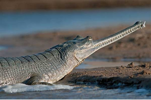 Gharial crocodile population decline in Nepal | News & Events